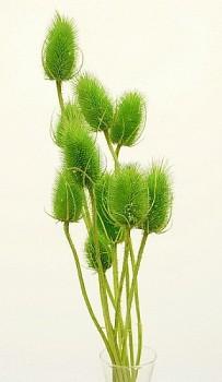 Suché a sušené květiny na aranžování  BODLÁK ZELENÝ