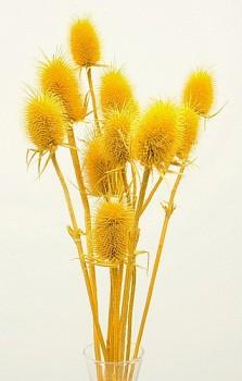 Suché a sušené květiny na aranžování  BODLÁK ŽLUTÝ
