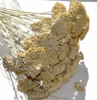 Suché a sušené květiny na aranžování Achiela bleached