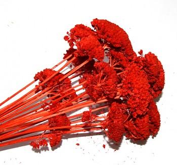 Suché a sušené květiny na aranžování Achiela červená